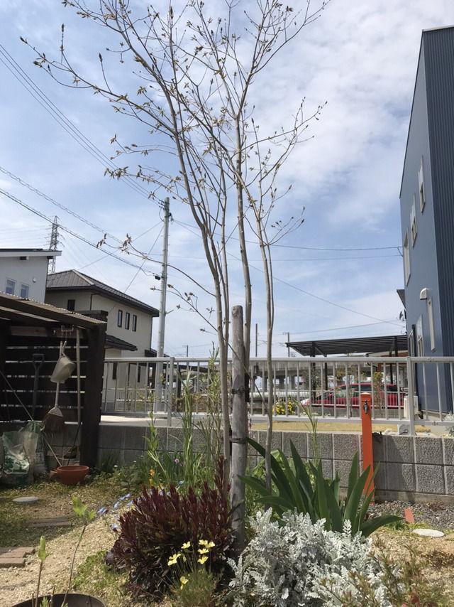 トネリコの植栽