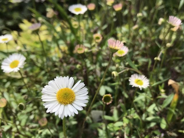 エリゲロンの花