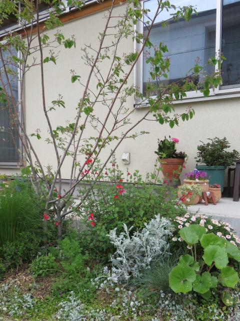 玄関先の植栽 ジューンベリー、チェリーセージなど