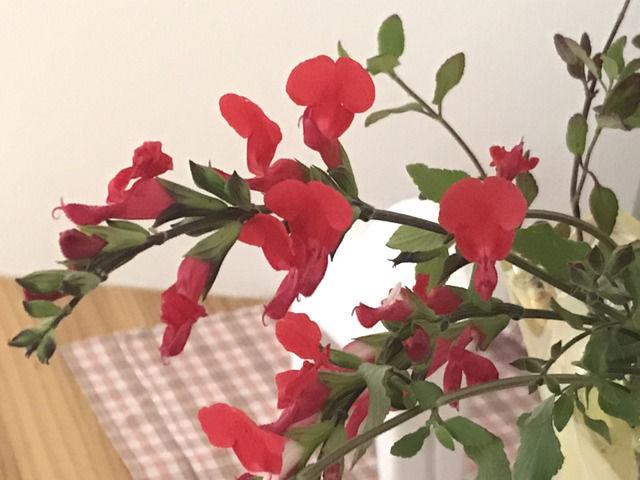 チェリーセージの花のアップ