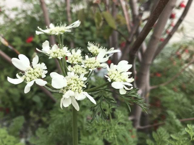 オルレアの花のアップ