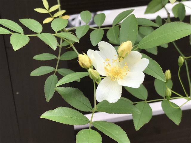 白い一重のモッコウバラの花