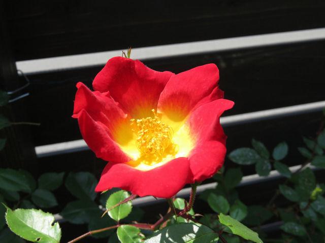 バラ カクテルの花のアップ