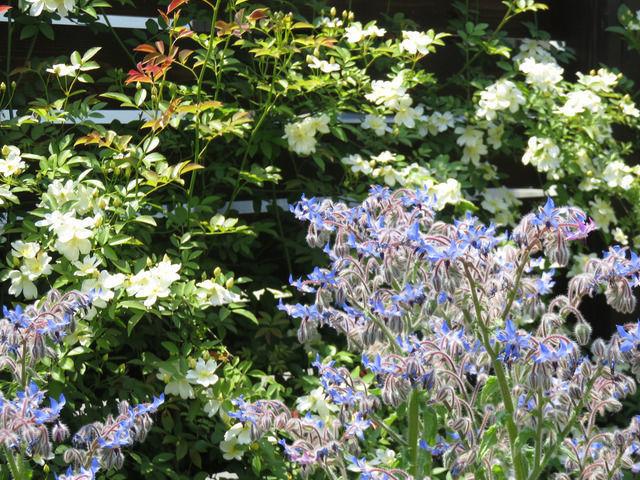 一重白のモッコウバラとボリジの青い花