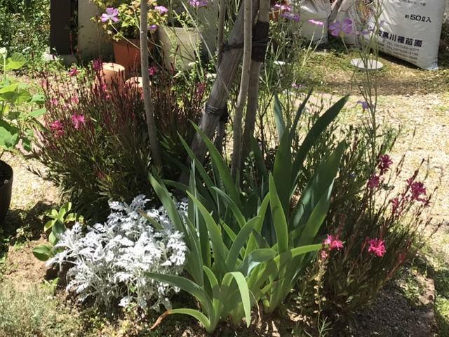 庭木の植栽 ガウラ、アグロステンマ、シロタエギク、ジャーマンアイリス、ホスタ