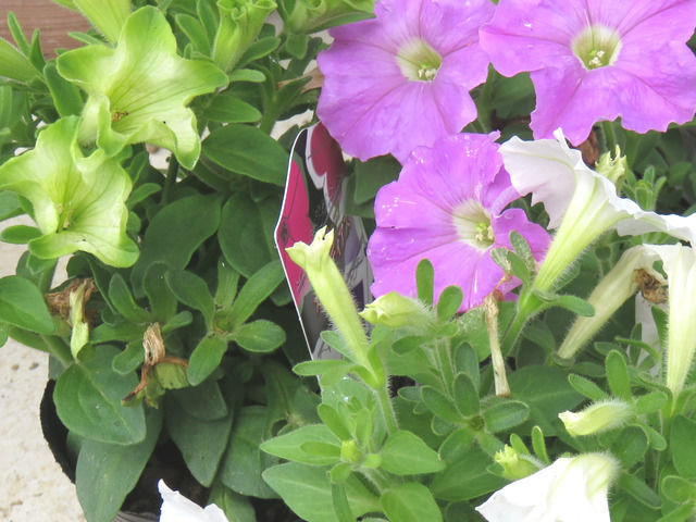 ペチュニアの花のアップ