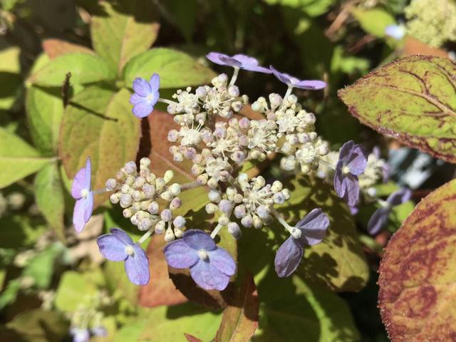 ヤマアジサイ 土佐の霧雨の花