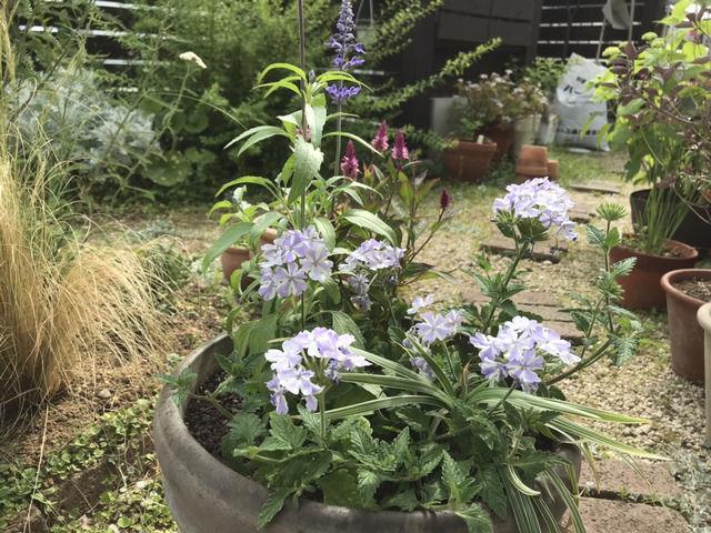 初夏の寄せ植え ブルーサルビア スーパーベナ・アイストゥインクル ケイトウ