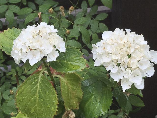 白いアジサイ シュガーホワイトの花