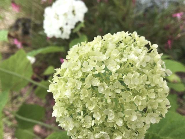 白いアジサイ アナベルの黄緑色の花