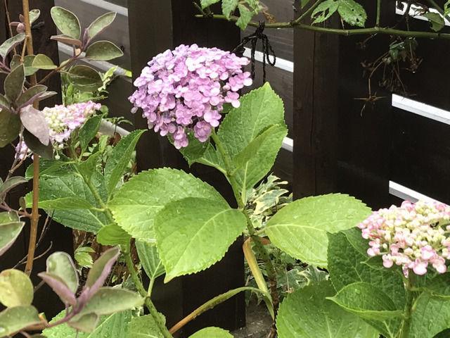 ピンク色のオタフクアジサイの花