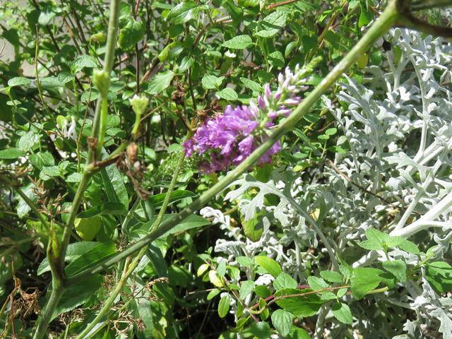 ベロニカの花
