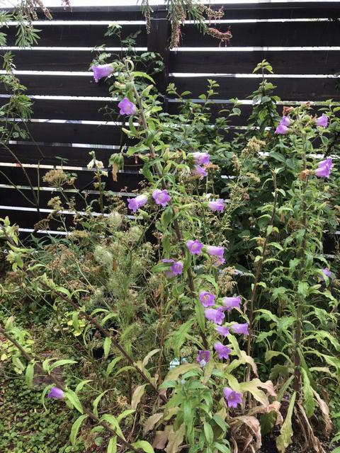 カンパニュラの二番花