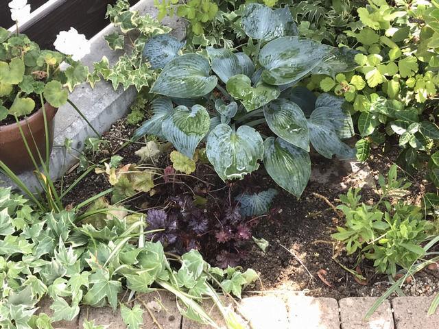 コーナー花壇に植えたギボウシ