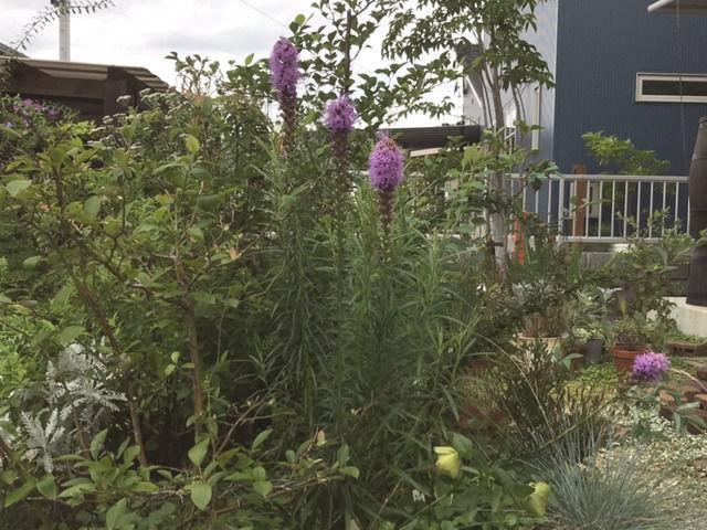 リアトリスの花の植栽