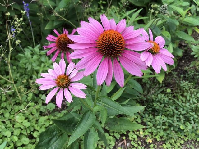 ピンクのエキナセアの花のアップ