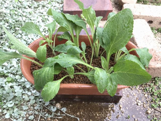 土に挿したジギタリスの挿し芽