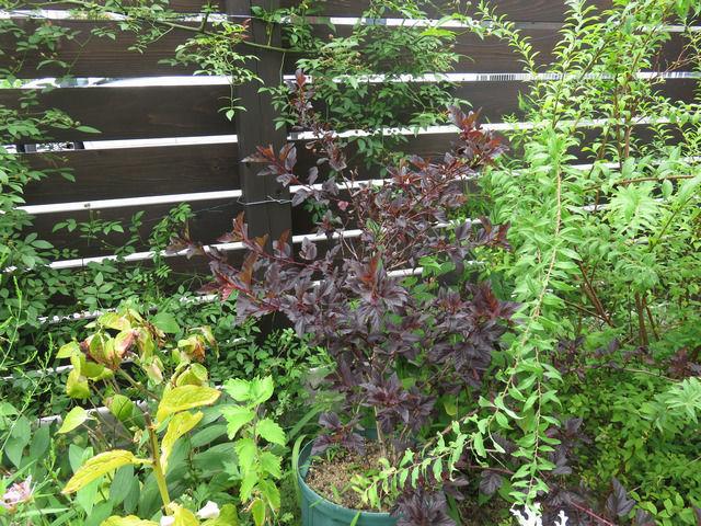 アメリカテマリシモツケ ディアボロの植木鉢を置いている画像