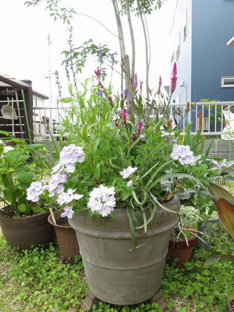 夏の寄せ植えの1か月経過した様子 スーパーベナ アイストゥインクル ブルーサルビア