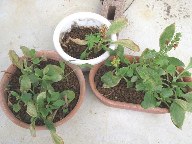 2ヶ月経過したジギタリスの挿し芽の様子