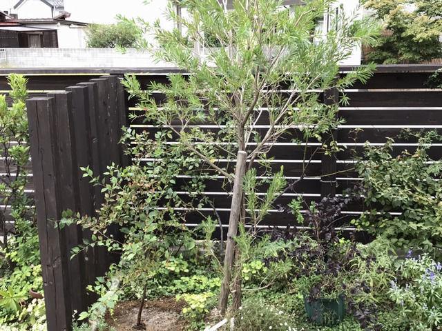 移植したエゴノキとブラシの木