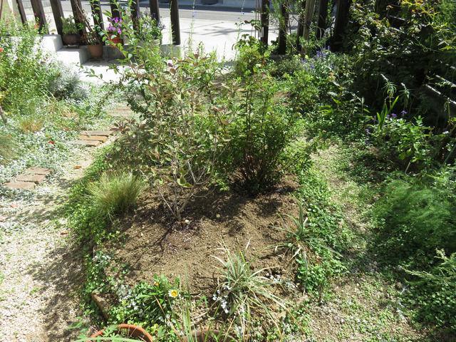 植栽の裏側 ミツバハマゴウ