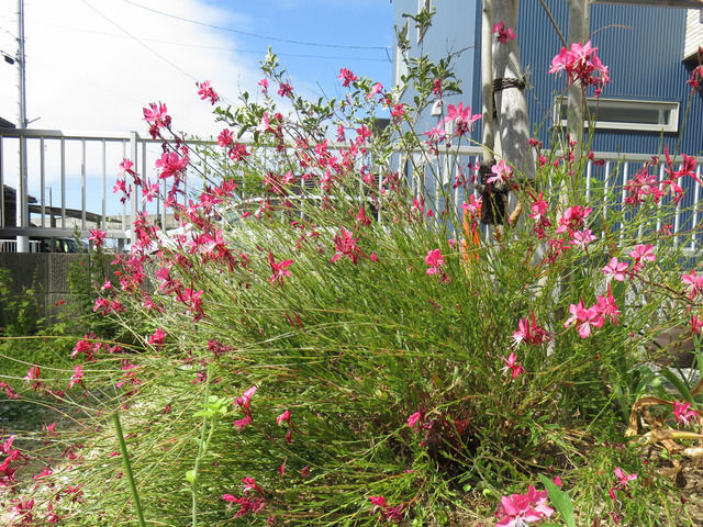 9月の庭の様子 ガウラ小紅