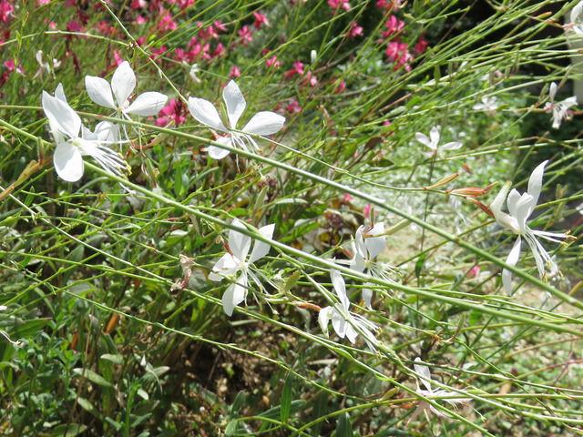 ガウラの白い花