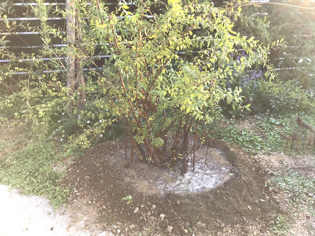 新しい場所に植えたユキヤナギ
