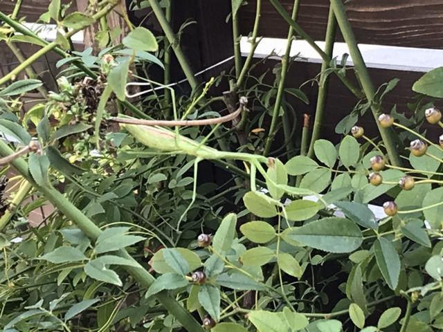 モッコウバラのカマキリ