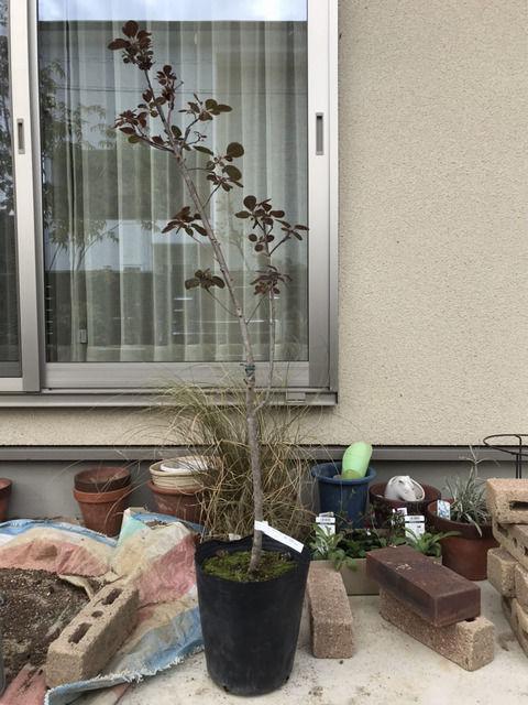 スモークツリー ベルベットクロークの苗