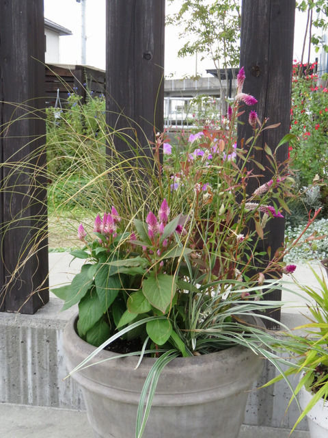 秋の寄せ植え ケイトウ2種、カレックス・アウバウム、ミスキャンタス