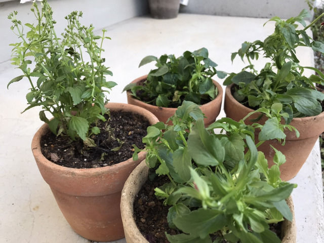 苗を小さな植木鉢に植え替えた様子