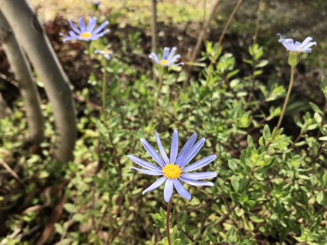 1月に咲いているブルーデイジー