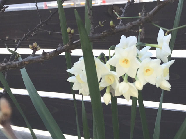 日本水仙の開花