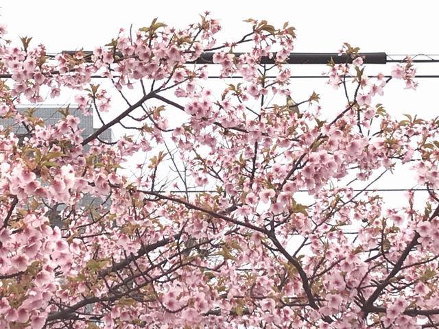 宇多津のさくら広場の河津桜