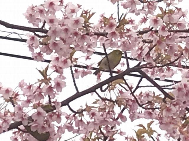 宇多津のさくら広場の河津桜とメジロ