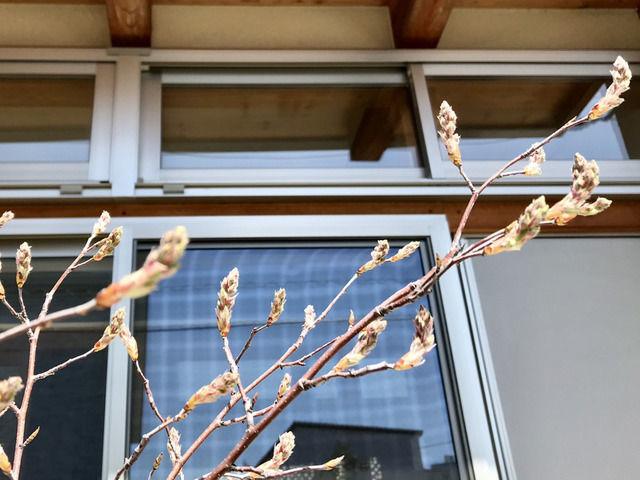 ジューンベリーの花芽