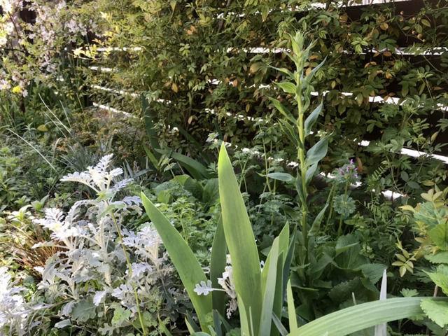 庭の植栽の様子 ジギタリス