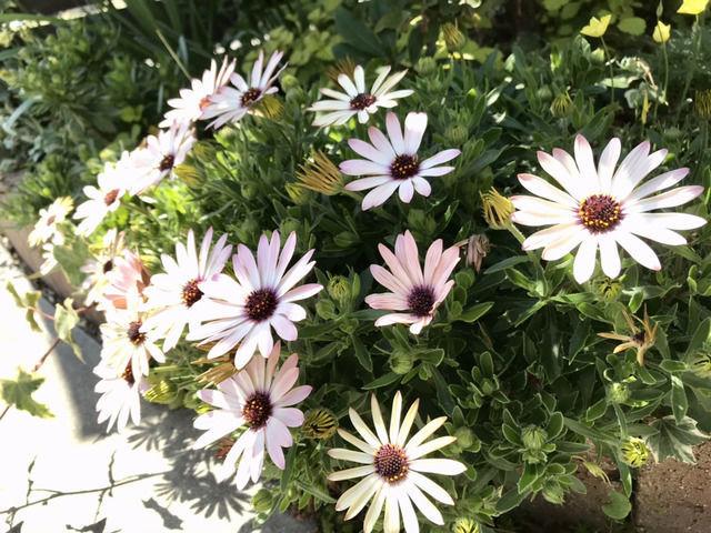 オステオスペルマムの花のアップ