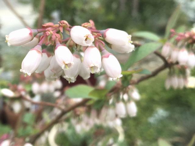 ブルーベリーの花のアップ