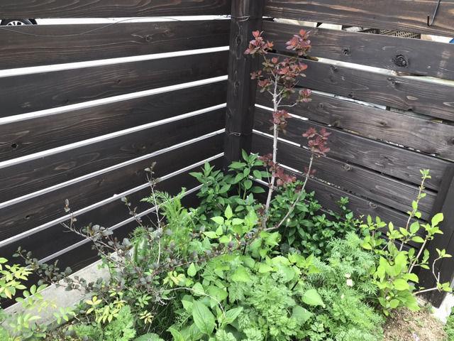 スモークツリーの植栽