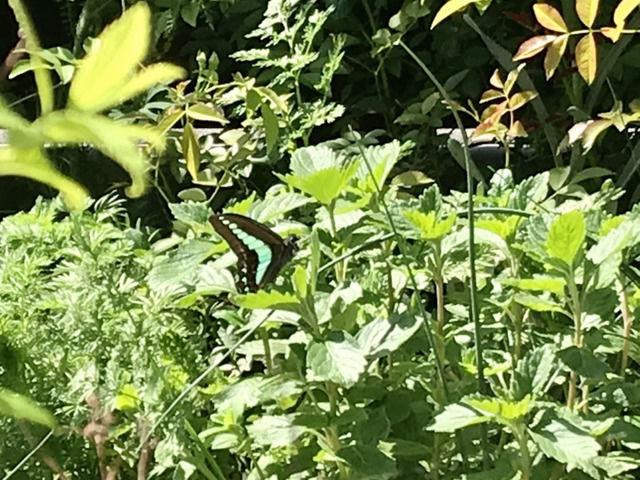 庭にきたアオスジアゲハ
