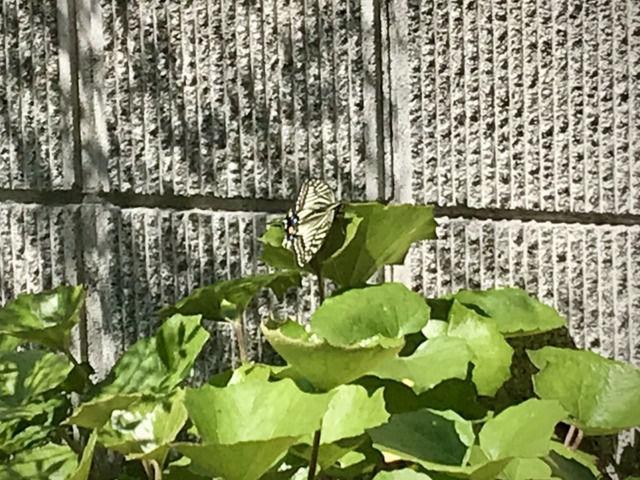 葉にとまっているアゲハ