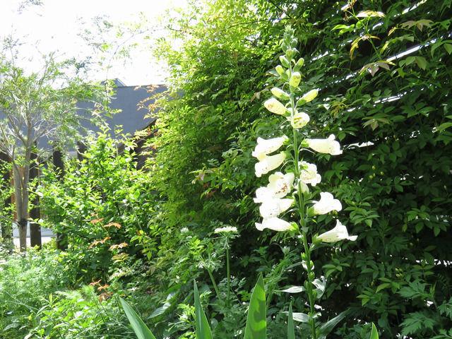 ジギタリス キャメロットクリームの咲く庭の様子