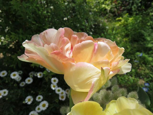 チューリップ アンジェリケの花