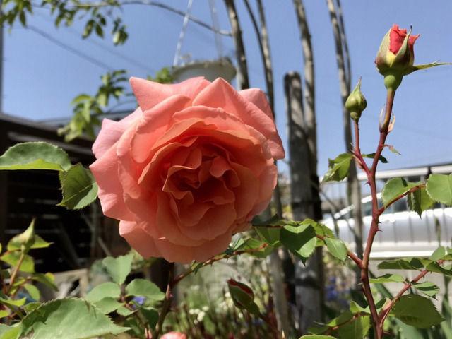 バラ サンセットグロウの花
