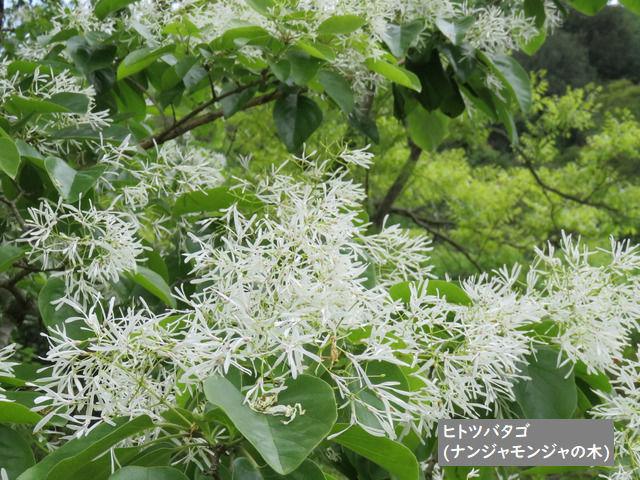 牧野植物園のヒトツバタゴの花