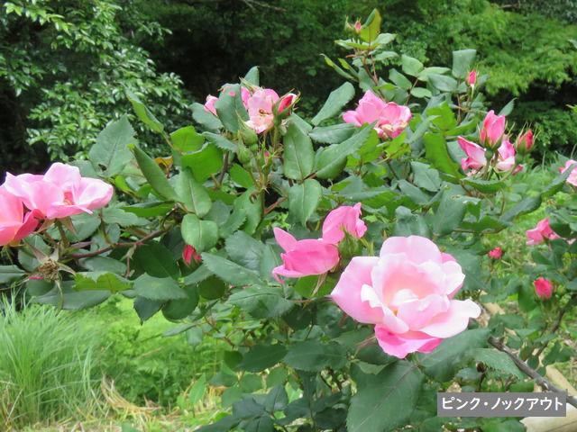 牧野植物園のバラ