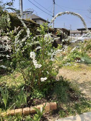 ユキヤナギの開花の様子